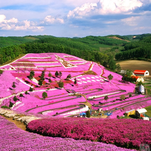 Shibazakura Hokkaido Japan