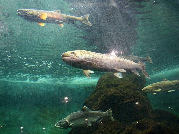 Eastern Hokkaido Shibetsu Salmon Aquarium Japan