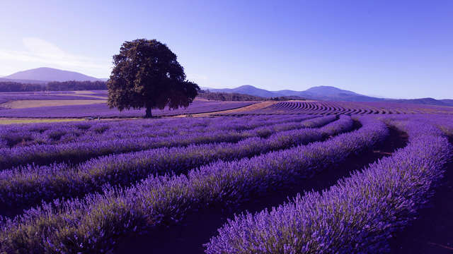 HIS Travel Bridestowe Lavender Estate