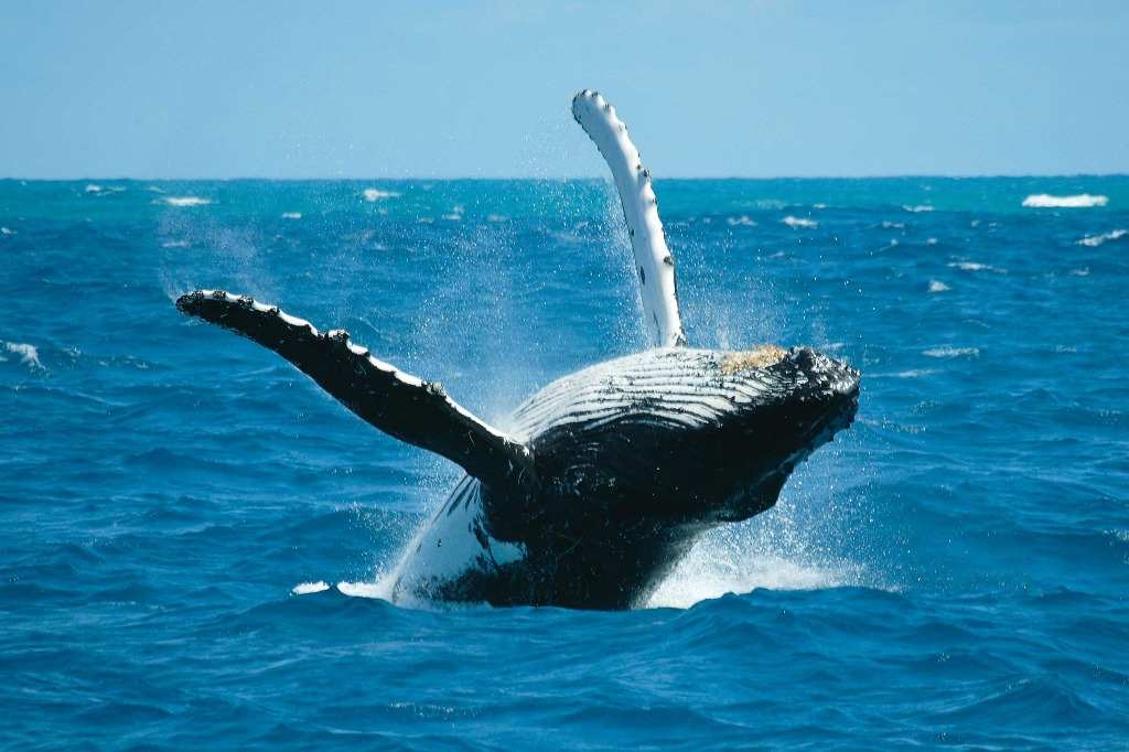 HIS Travel Australia Queensland Cairns Humpback Whale Watching