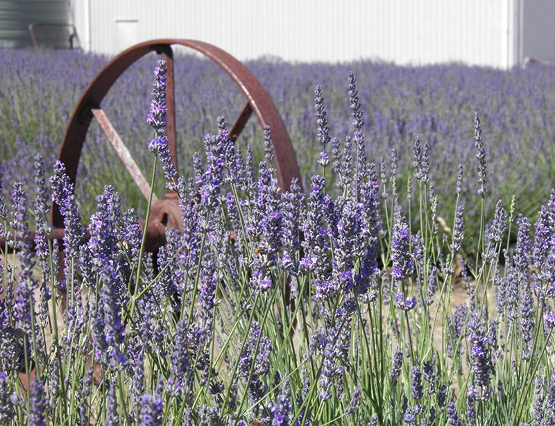 South Australia Emy Bay Lavender Farm